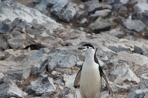 chinstrap-penguin-1149255_640